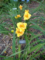 """Daylily """"Aarons Little Whopper"""" in Warner Robins, Georgia"""