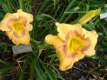 """Daylily, """"Web of Intrigue"""" in Perry, Georgia"""